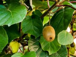Kiwi-Pflanzen