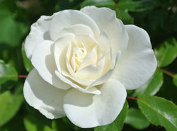 Climbing roses from Lubera