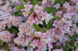 Beauty bush Lubera