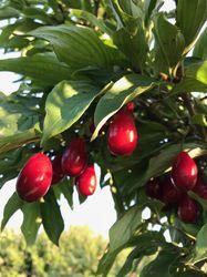 Cornelian Cherry Cornus mas Lubera