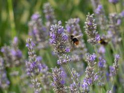 Lavendel Pflanzen kaufen