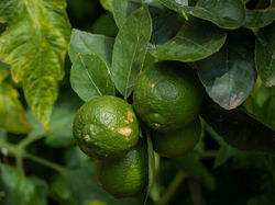 Lime tree Lubera