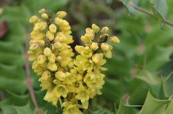 Winter Flowers Lubera Mahonie Winter Sun