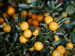 Mandarin trees Lubera