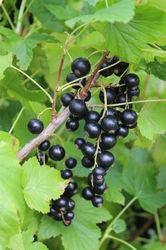 Blackcurrants Cassissima Blackbells Lubera