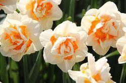 Blumenzwiebeln mit gefüllten Blüten Narzisse Lubera
