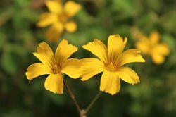Oca plants from Lubera
