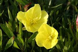 Evening primrose  Lubera Oenothera