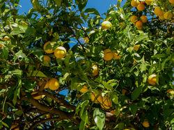 Orange tree Lubera
