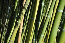 Phyllostachys bamboo from Lubera