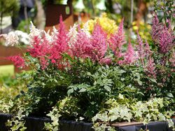 Astilbe from Lubera