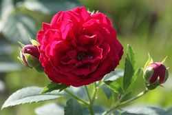 Buy climbing roses from Lubera