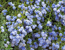 Buy ceanothus in the Lubera Garden Shop