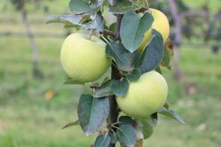 Columnar Apple Trees - Malini Greenlight Lubera