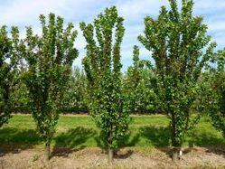 Buy sour cherry trees at Lubera
