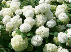 Buy Viburnum from the Lubera Garden Shop