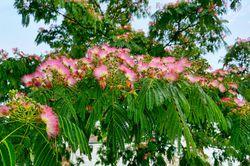 Silk tree