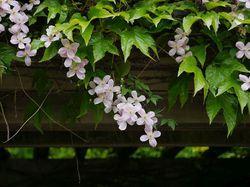 Self-climbing plants at LUBERA