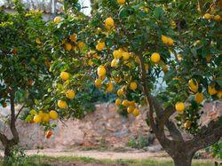 So gelingt die Zitronenbaum-Pflege - Pflegetipps von Lubera