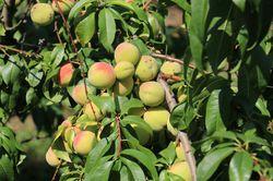Aromapfirsiche Veroma Pico (Prunus mira-Hybride)