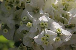 Bougainvillea x buttiana Jamaica White Lubera