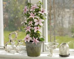 Clematis for containers Evison Clematis Mirabelle Lubera