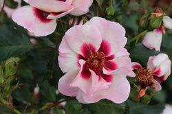 Rosa persica from Lubera