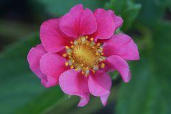 rosablühende Erdbeere DoublePleasure