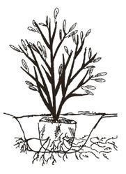Planting Spiraea
