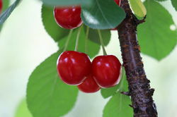 Bush cherry Valentine Lubera