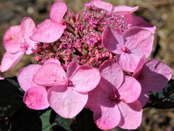 Hydrangea serrata from Lubera