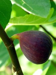 Buy a fig tree from Lubera