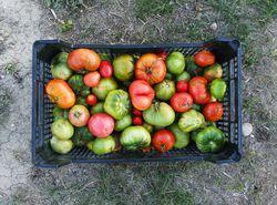 tomaten nachreifen lassen geht denn das lubera