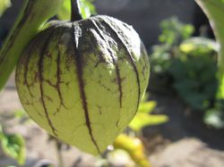 Tomatillo plants from Lubera