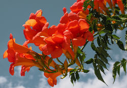 Buy trumpet vine at the Lubera Garden Shop