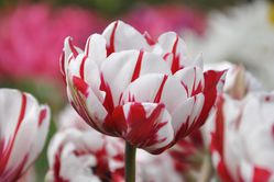 Gefüllte Tulpen Blumenzwiebeln Lubera