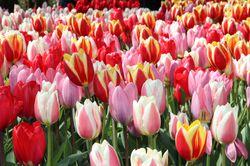 Darwin Tulips Lubera