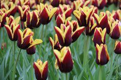 Triumph Tulpen Gavota Lubera Frühlingszwiebeln