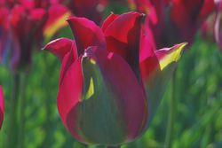 Viridiflora tulips Green Love Lubera