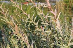 Buy Salix at Lubera