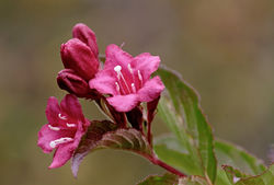Buy Weigela at Lubera