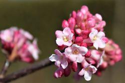 Winter Flowers Viburnum x bodnantense Dawn