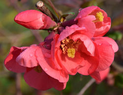 Buy a flowering quince at Lubera