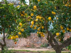 Buy citrus trees Lubera