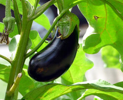 Aubergine plant from Lubera