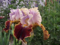 Bearded iris from Lubera