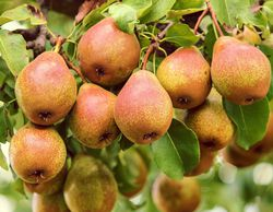 Buy a pear tree from the Lubera garden shop