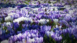 Krokusse kaufen Lubera Krokusknollen Blumenzwiebeln