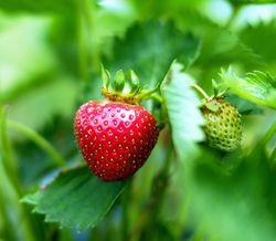 Einmaltragende Erdbeeren