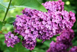 Lilac standard at Lubera